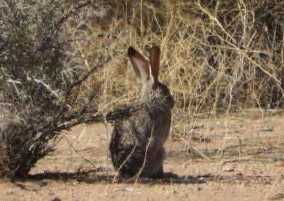 Jack-Rabbit-Arizona