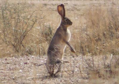 Standing-Jack-Rabbit-Arizona