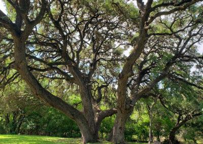 Texas-tree