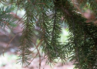 pine-up-close-wide