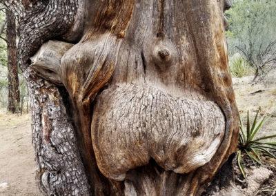 pregnant-tree-wide